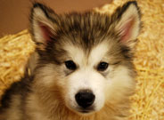 Malamute Puppies for sale