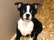 Boston Puppies for sale