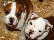 Olde English Bulldoggie Puppies for sale