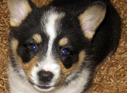 Corgie Puppies for sale