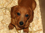 Doxie Puppies for sale