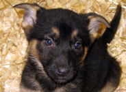 German Sheperd Puppies for sale