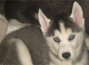 Huskey Puppies for sale